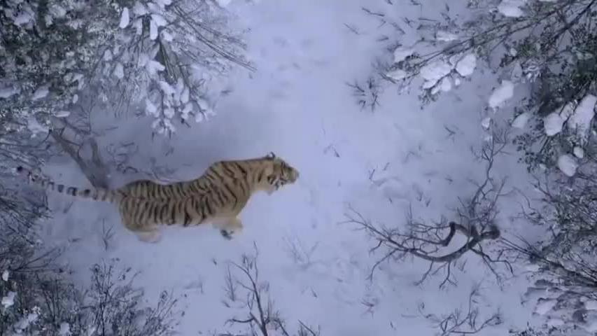 男子靠在树下面睡觉,不料马突然尖叫,原来远处走来了一只东北虎