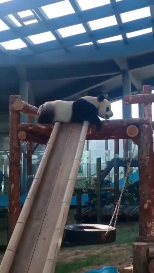别的熊猫竖着玩滑梯,而我就要横着玩,任不任性