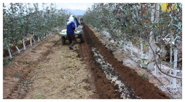 苹果树用什么肥料好,可以尝试羊粪肥,自己腐熟最合适