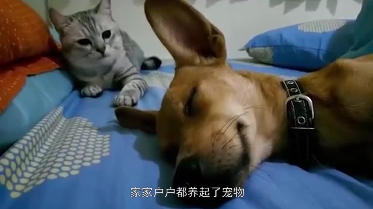 两只狗狗追逐猫咪,结果被猫咪翻墙逃跑,狗狗傻眼了!