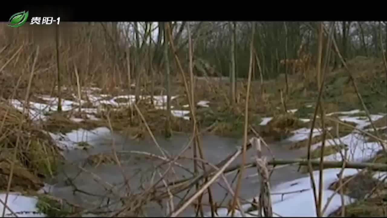 雪地里,狼群向麋鹿发起了攻击,镜头记录完整过程