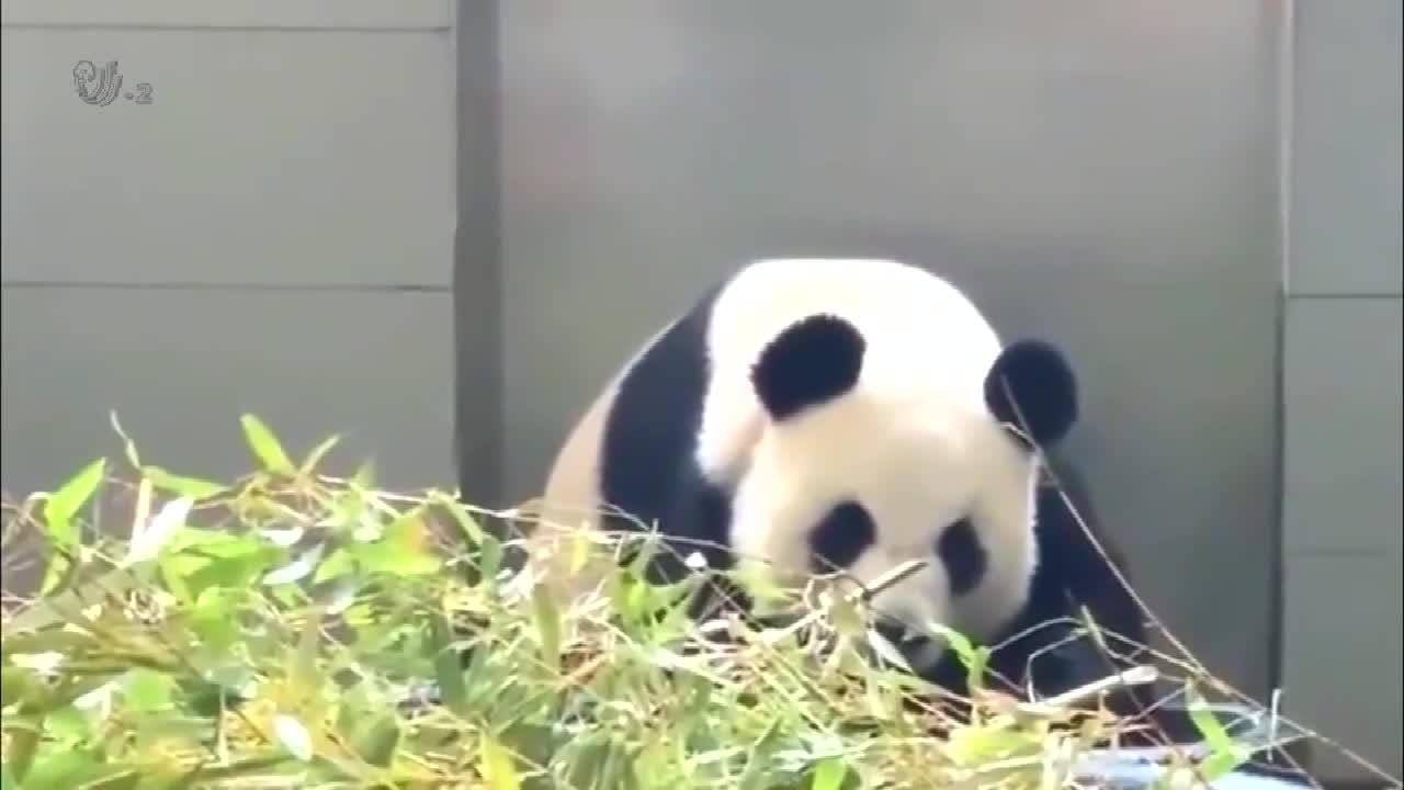 大熊猫肚子饿了,委屈巴巴的坐了过来,张嘴要吃的