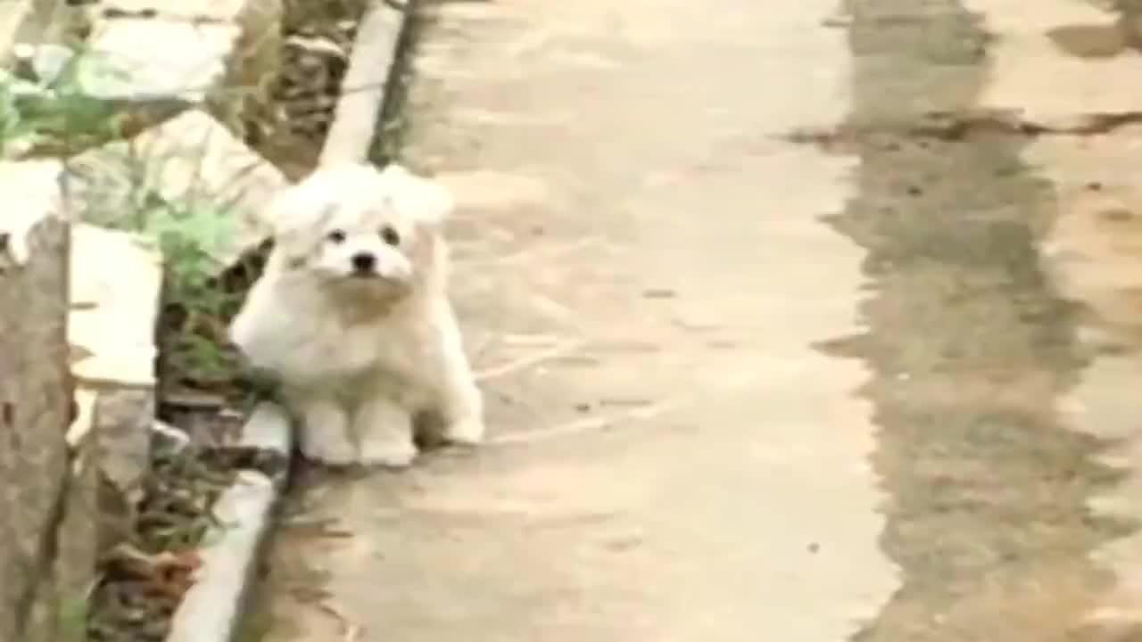 散养的狗狗小白真的是太可爱了只吃剩菜剩饭加看着太有灵气了