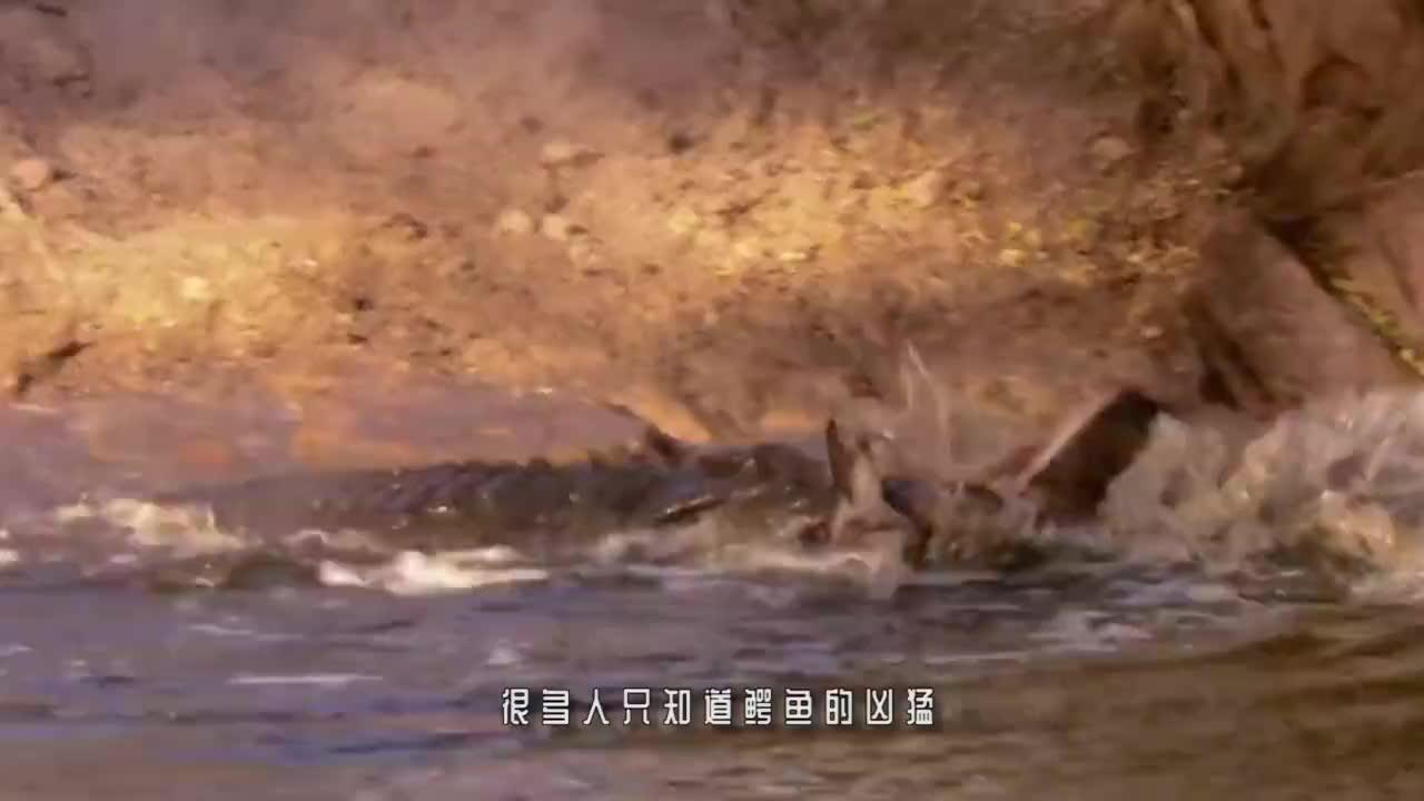水獭看见鳄鱼,就像是猫看见了老鼠,吃鳄鱼就像吃辣条一样!