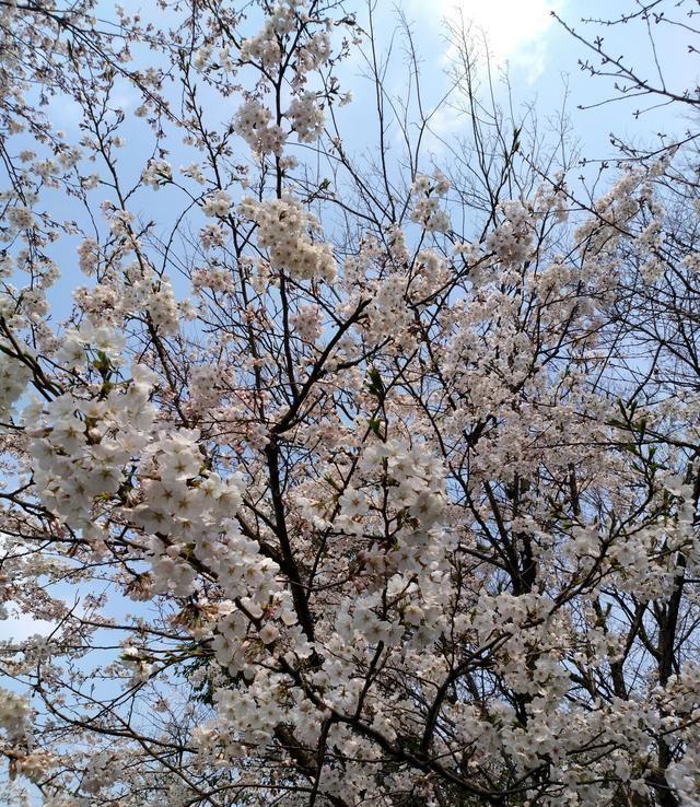 看扬州鉴真大道,极尽张扬的樱花绚烂地开