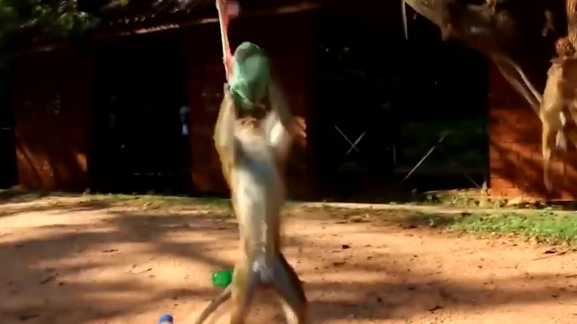 猴子抢走小宝宝手上的气球,不料气球忽然爆炸,镜头记录全过程!