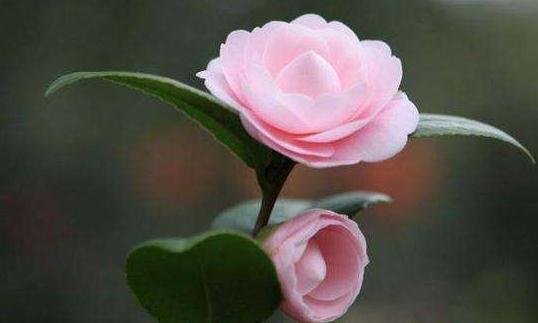 茶花植株根部萌发的枝条,可根据实情处理,也适用于其它花卉