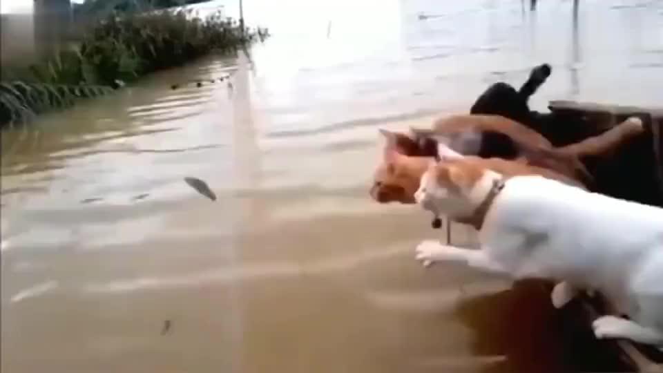 狸花猫史上最强捕鱼天团不接受任何反驳