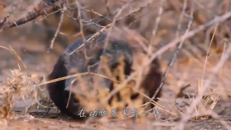 蜜獾单挑鬣狗群,不怕死的碰上掏肛的,到底谁的拳头更硬?