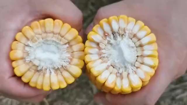 夏播玉米不用肥:只有高科技素质的人才能懂,科学原理是什么?