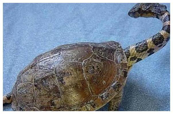 男子在野外捡到一只龟,给它进行喂食时:忍者神龟变身吗?