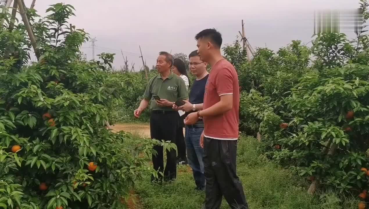 厦门大学博士莅临武鸣400亩沃柑基地指导采果56万斤果农乐了