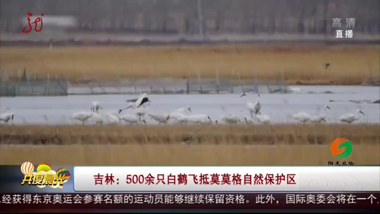 吉林500余只白鹤飞抵莫莫格自然保护区