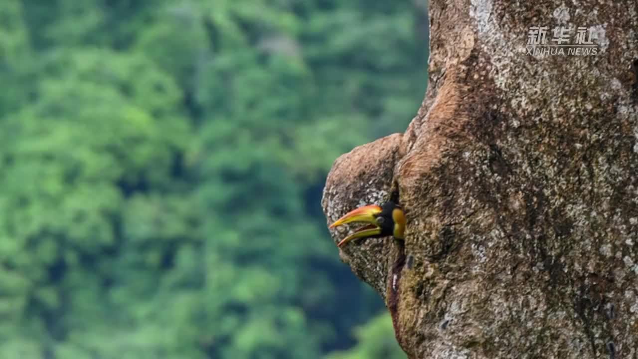 云南:德宏拍摄到双角犀鸟雏鸟出巢珍贵影像