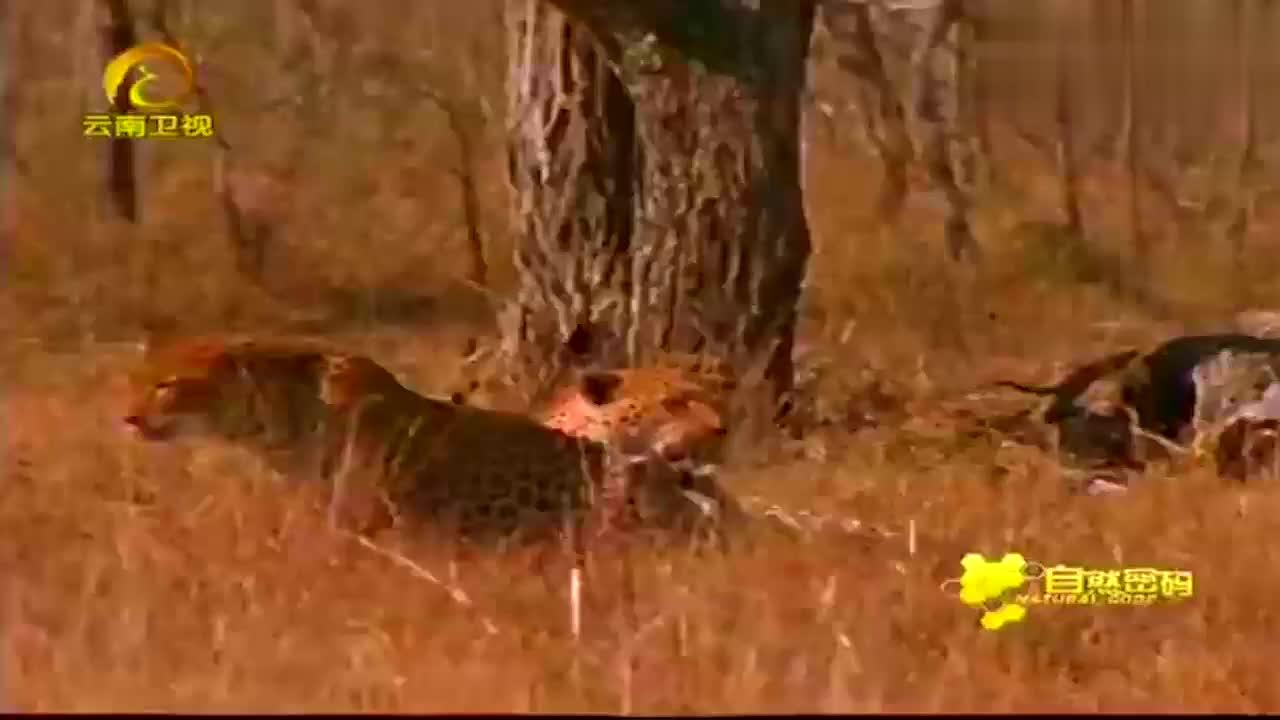 艾洛菲尔德狮子巡逻队,向狂欢中的鬣狗集中了火力,大战一触即发