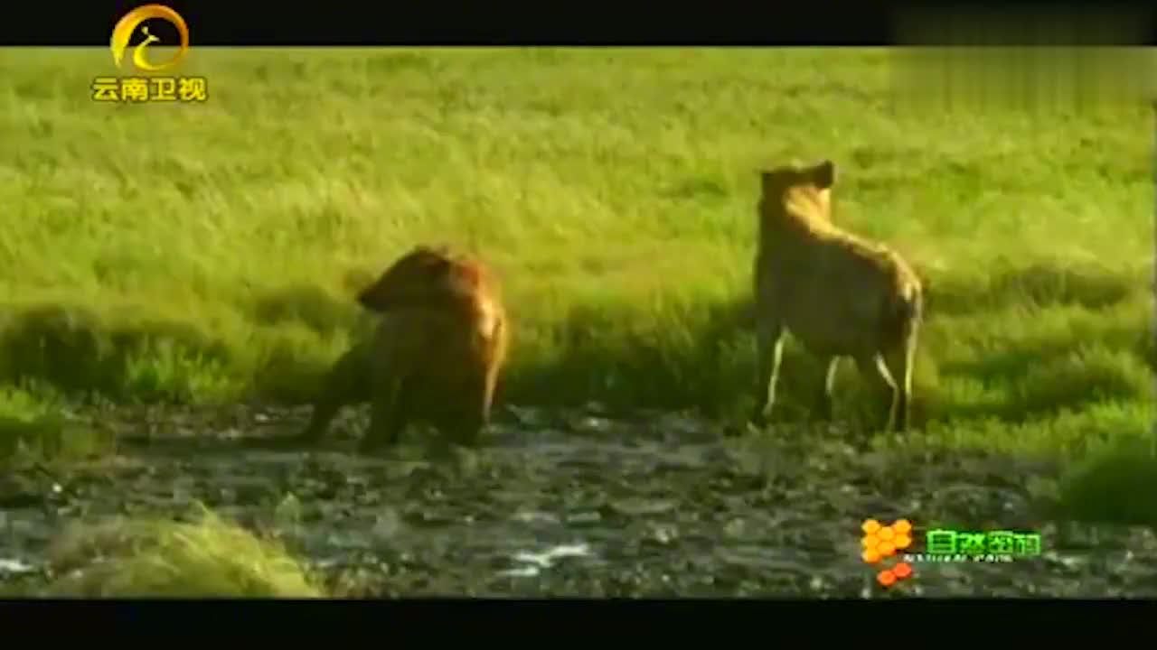 40只鬣狗组成奇袭部队,闯进狮子领地复仇,这下仇怨更深了