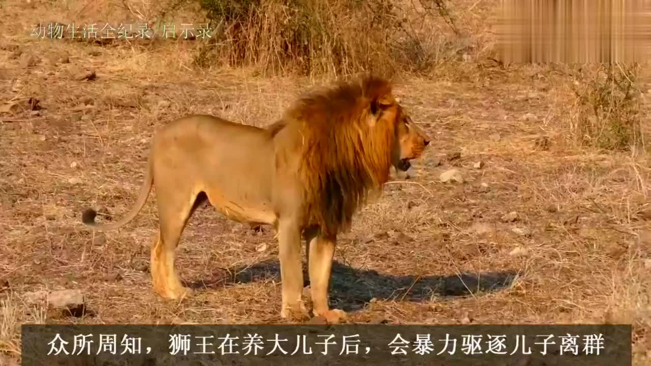 老狮王的父爱!驱赶两个儿子离群流浪,只吼叫不舍得殴打