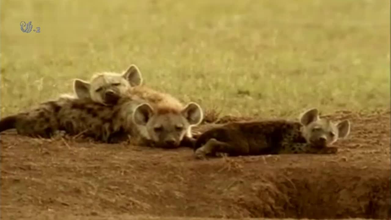 饥饿的鬣狗想得到姑妈的乳汁,结果却遭到姑妈的驱逐,真是太惨了