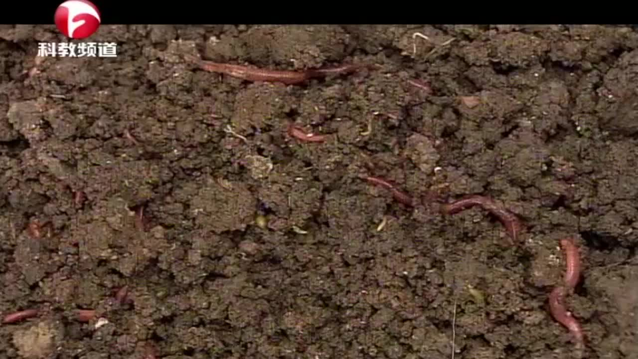 戴胜鸟捕食蝼蛄,一旦发现蝼蛄,它们用常常尖嘴扎入泥土将它捕获