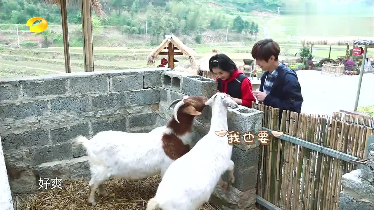 向往:张子枫何炅喂羊,天霸抢走老点苹果,笑坏何炅:太不像话了