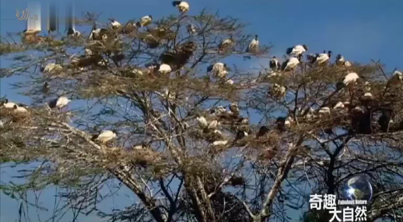 所有的大鹮鸟都住在一棵树上,都搭起了窝,太罕了