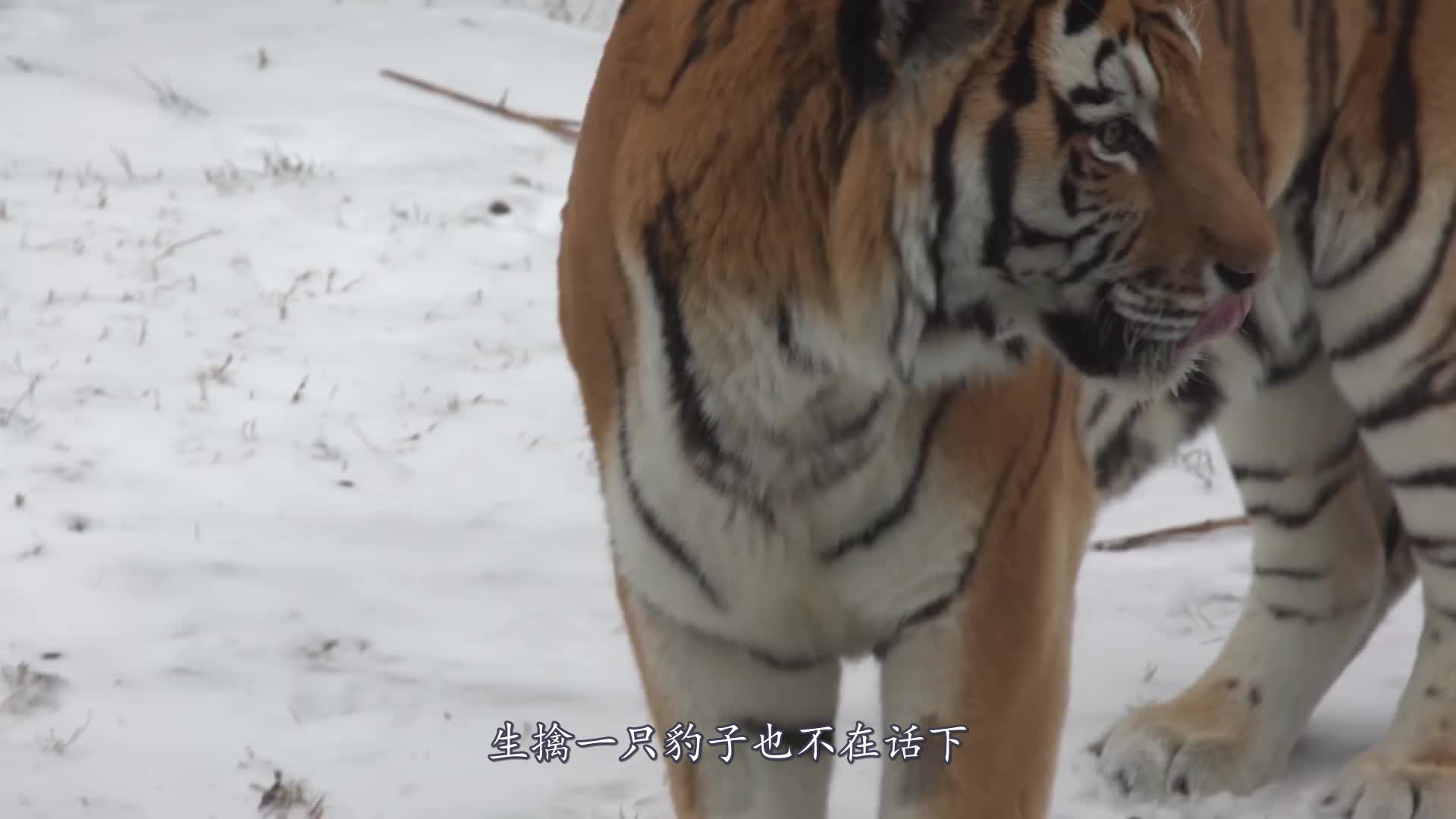小老虎凶巴巴地想吓唬游客,结果却惹得游客发笑,网友:丢了虎脸