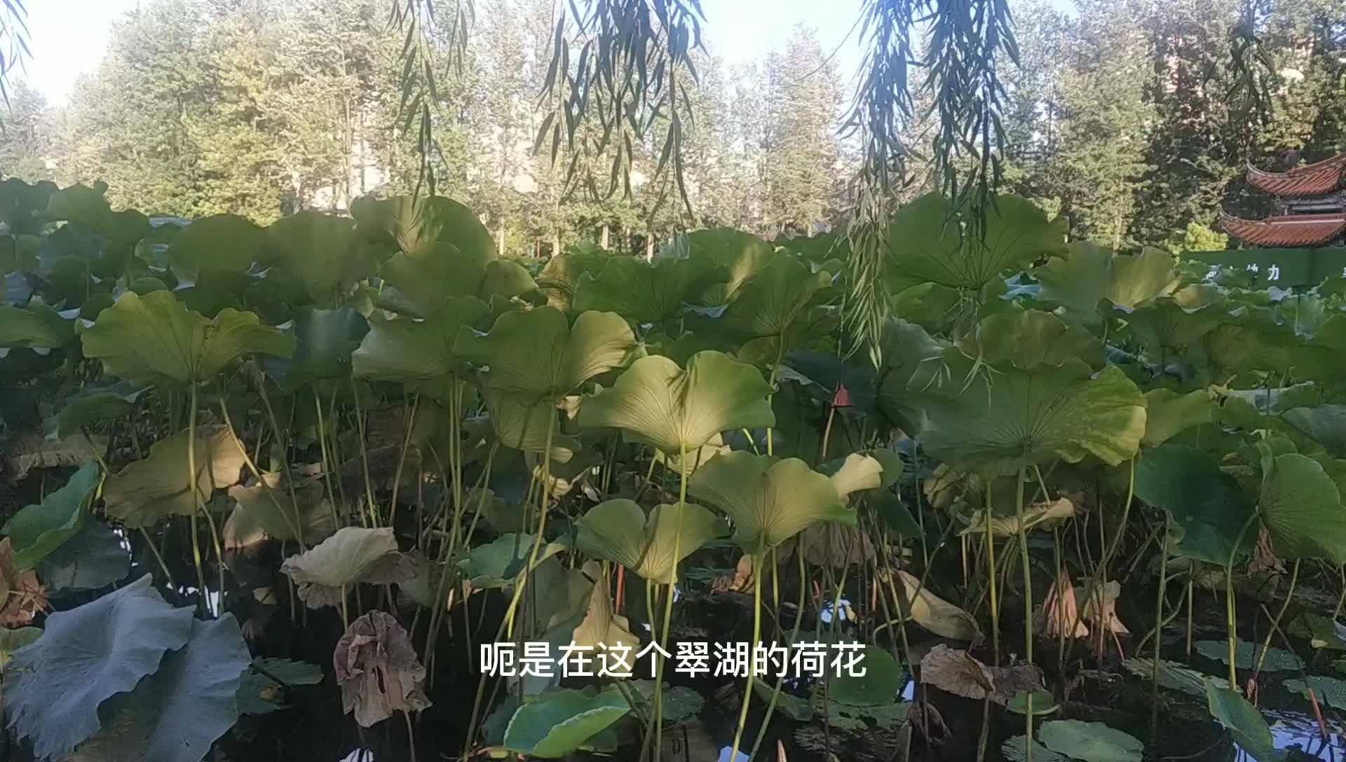 昆明最美的荷花池在哪里?今天带你来看看翠湖,绝对是最美的!