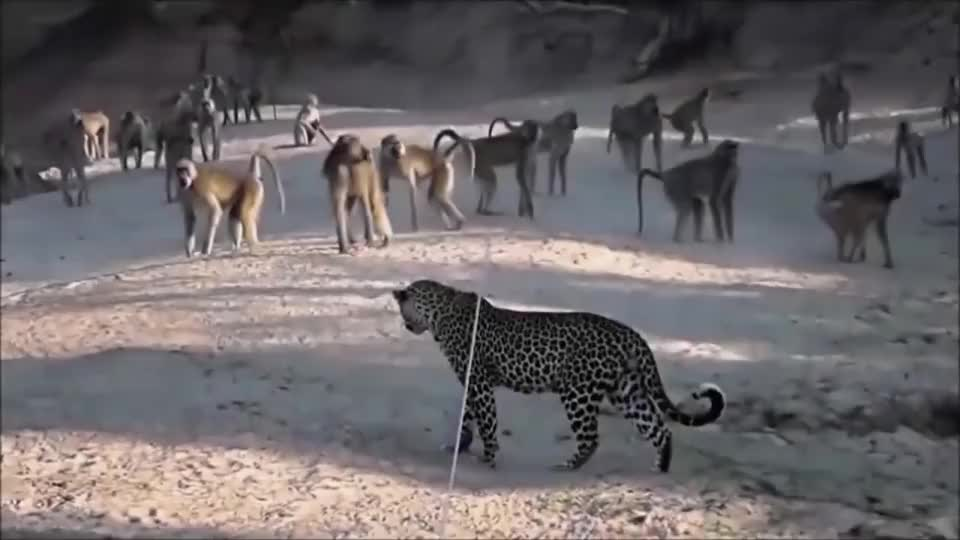 豹子闯入猴子领地,一群猴子不乐意了,猴子:兄弟们给我盘它!