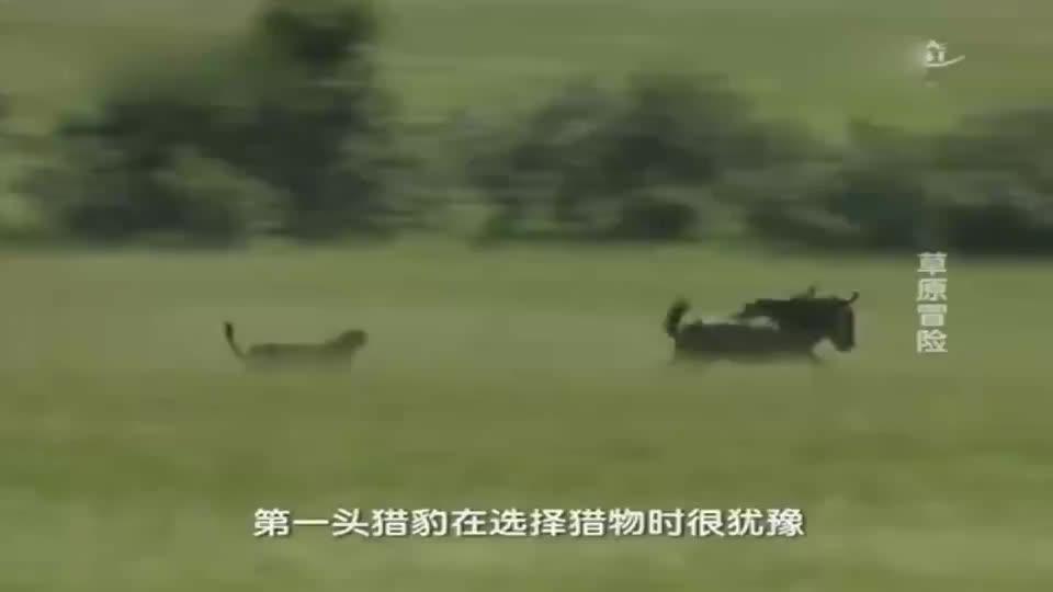 倒霉的羚羊同时被狮子;豹子;鬣狗给看上了,这下逃不掉咯