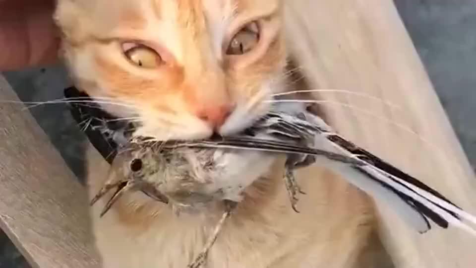 铲屎官从喵星人的嘴里救下一只鸟,结果猫咪是这种反应