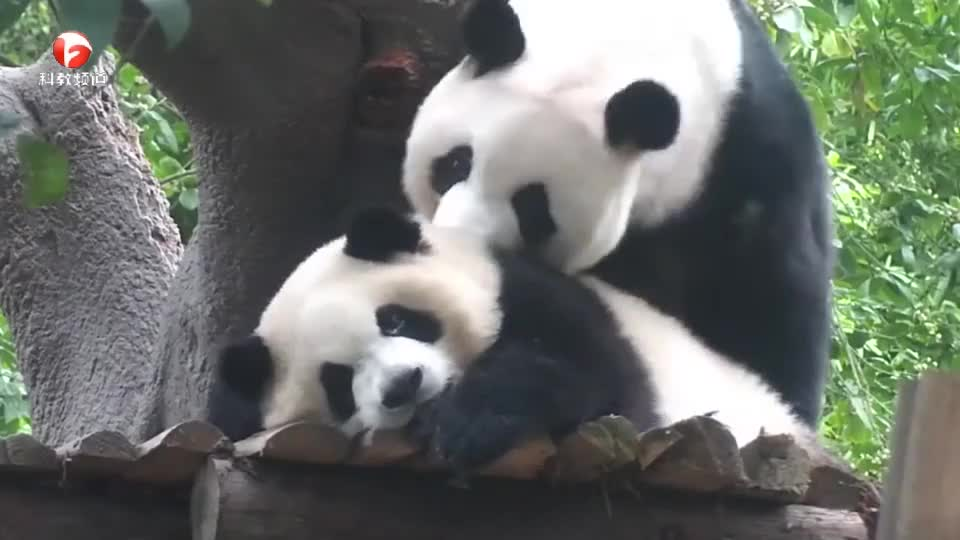 小熊猫在休息,结果大熊猫死活不让它休息,网友:实力坑娃!