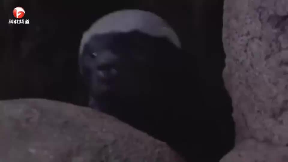 平头哥蜜獾,号称非洲战神一哥,网友:勇猛是因为眼瞎