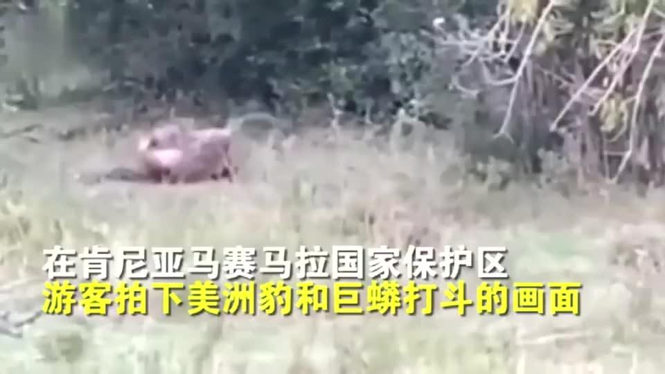 美洲豹遭巨蟒攻击,全身被缠,努力挣脱后秒杀蟒蛇!