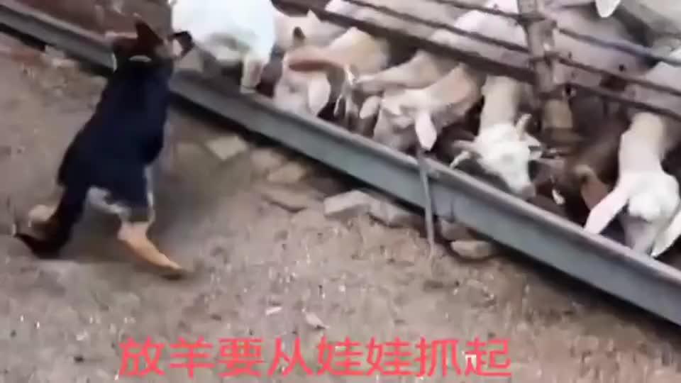放羊要从娃娃抓起,刚成年的德牧就学着放羊,太敬业了