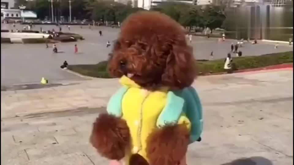 泰迪在广场上找不到爸爸了,四处慌忙寻找,引路人纷纷围观