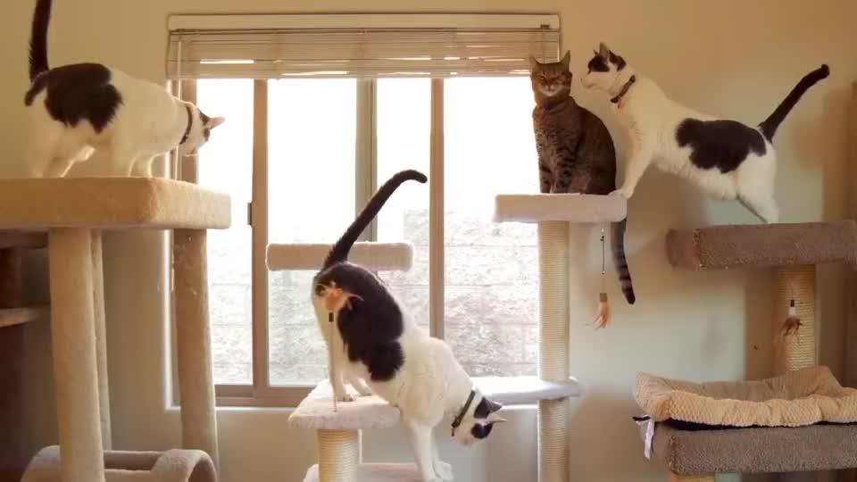 世界上最小的猫咪,体重不到3斤,睡前一定要亲吻主人下巴!