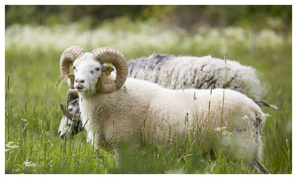 """生肖羊:11月1日要历经1个大""""坎"""",属羊人看看怎么回事?"""