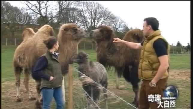 骆驼遇到自己喜欢的母骆驼时,它们会发出微小的叫声