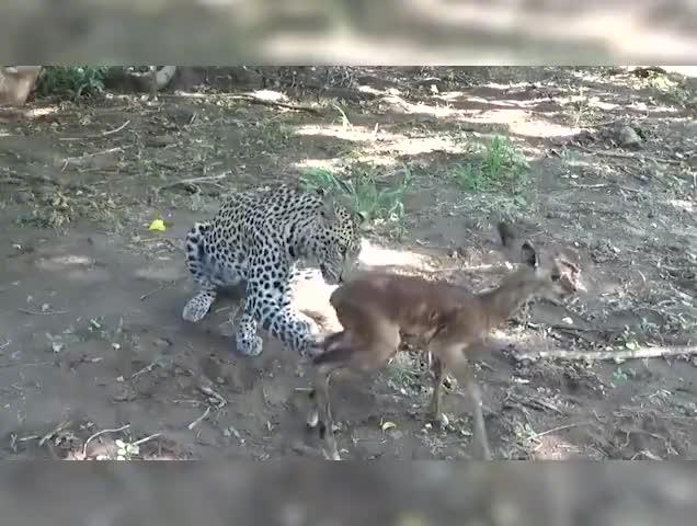与死神的共舞,小羚羊被困掠食者