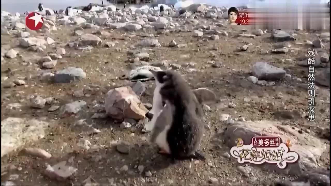 花样姐姐:大华教训企鹅爸妈,一边走嘴里还碎碎念,快笑死