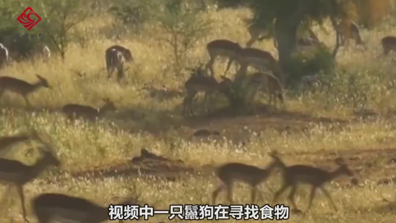 豹子和鬣狗都盯上羚羊,豹子刚抓住就被鬣狗抢去,下一秒鬣狗蒙了