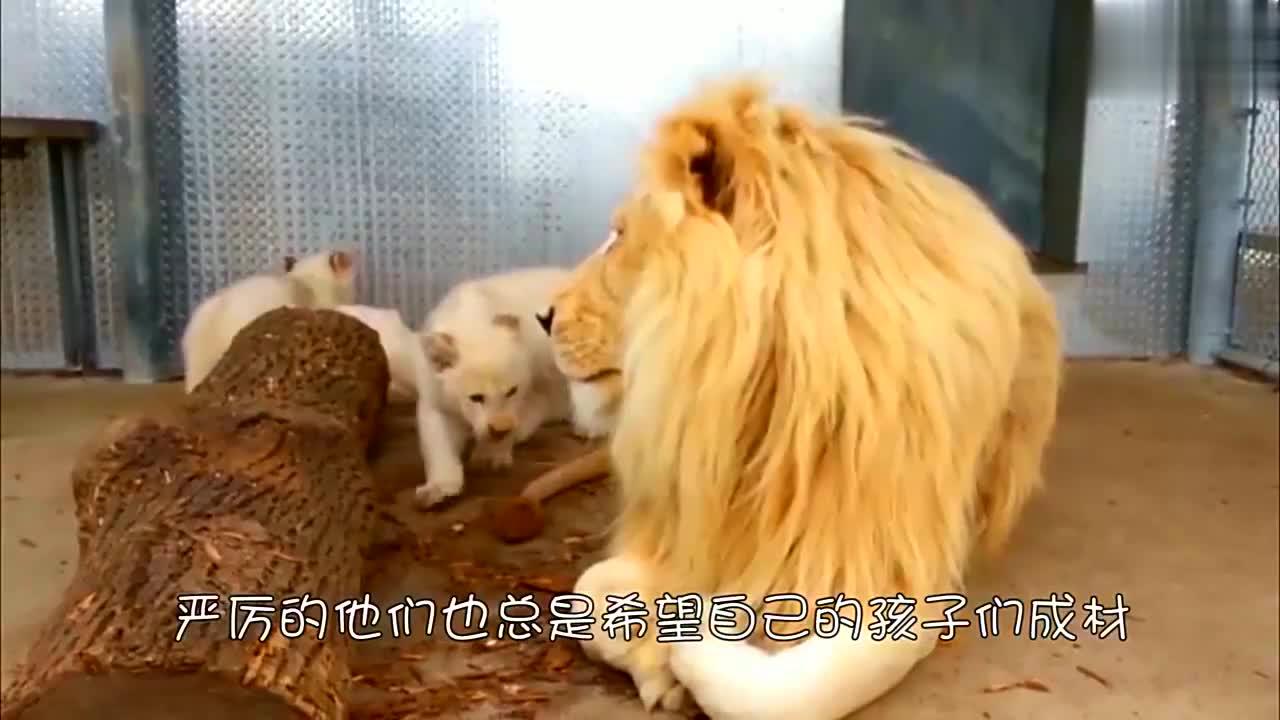 狮子爸爸想给小狮子道歉,没想到小家伙居然如此凶