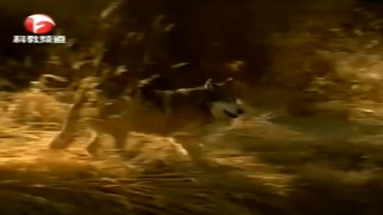 冰雪融化,小鹿的尸体暴露出来,狼这下不用捕猎就能吃到肉了