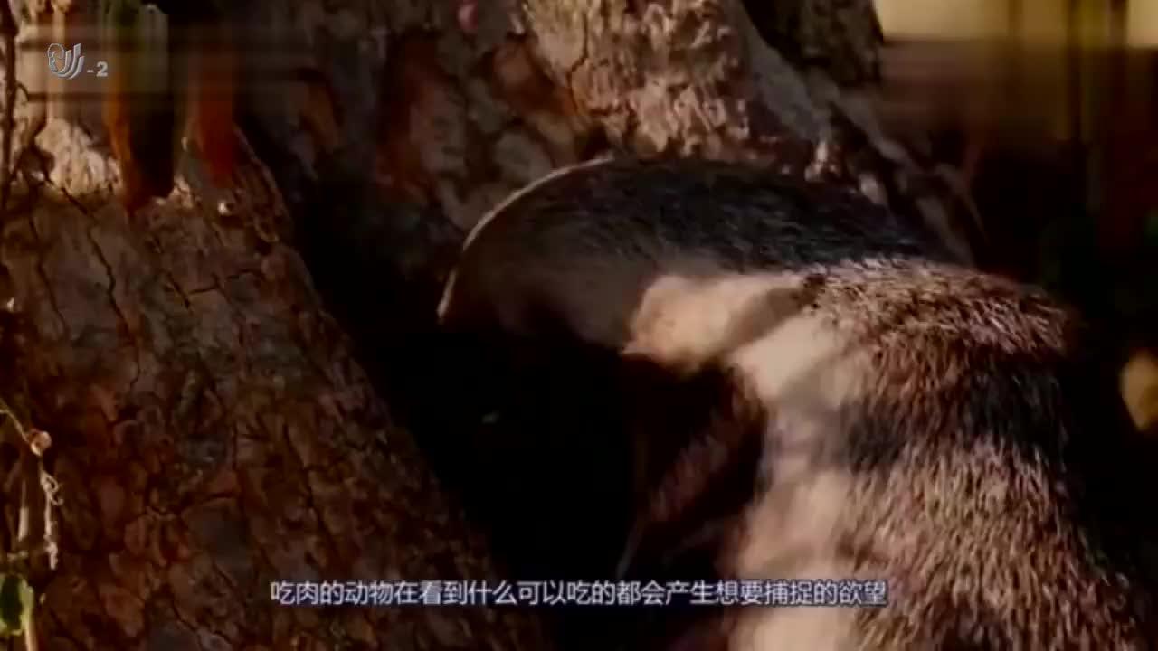 蜜獾为保护孩子直接跟豹子硬怼,平头哥:敢动我的孩子不想活了吧