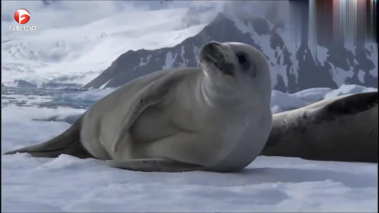 虎鲸群一起行动捕猎,可怜的小海豹无处可逃