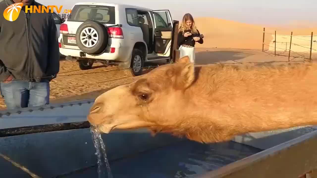 骆驼喝水速度有多快,打开水龙头后不停的喝,速度堪比抽水机
