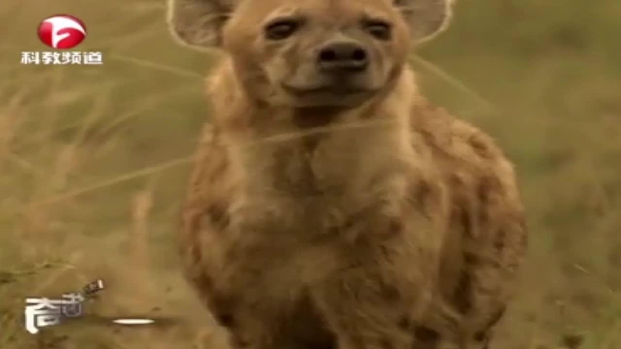 鬣狗注视着进食的狮子,结果遭到了狮群的暴打,好在狮群心情