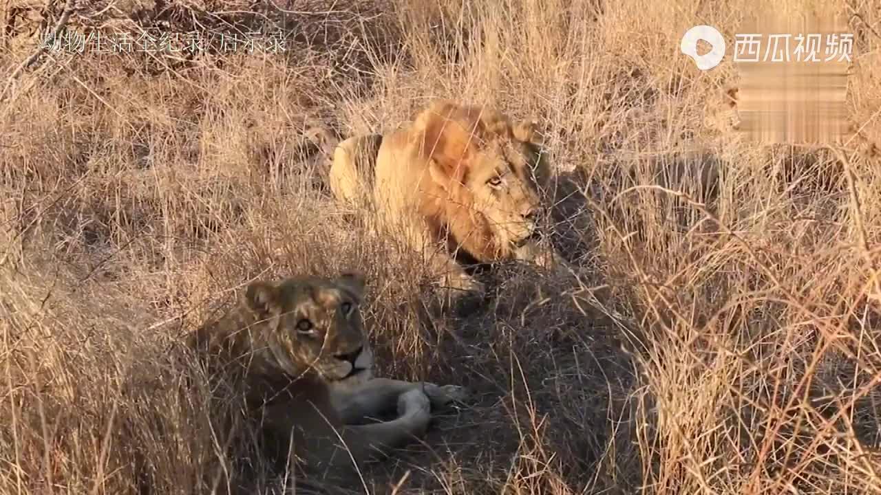 马鲁卡雄狮联盟:约会母狮被打扰,一个冲锋吓退众人,有脾气!