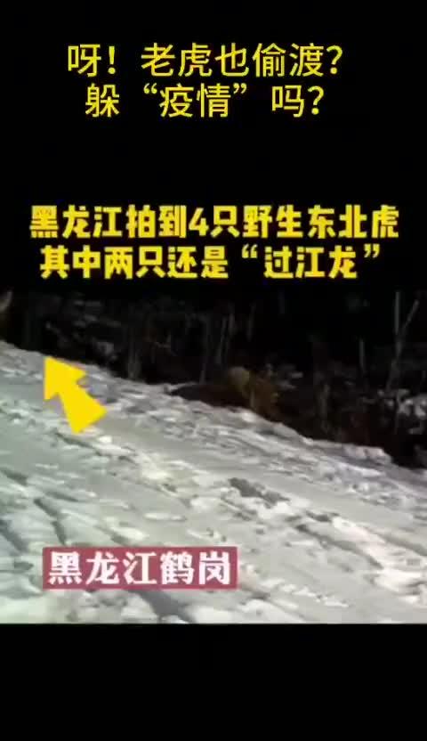 黑龙江4只野生东北虎露相其中两只还是偷渡来的
