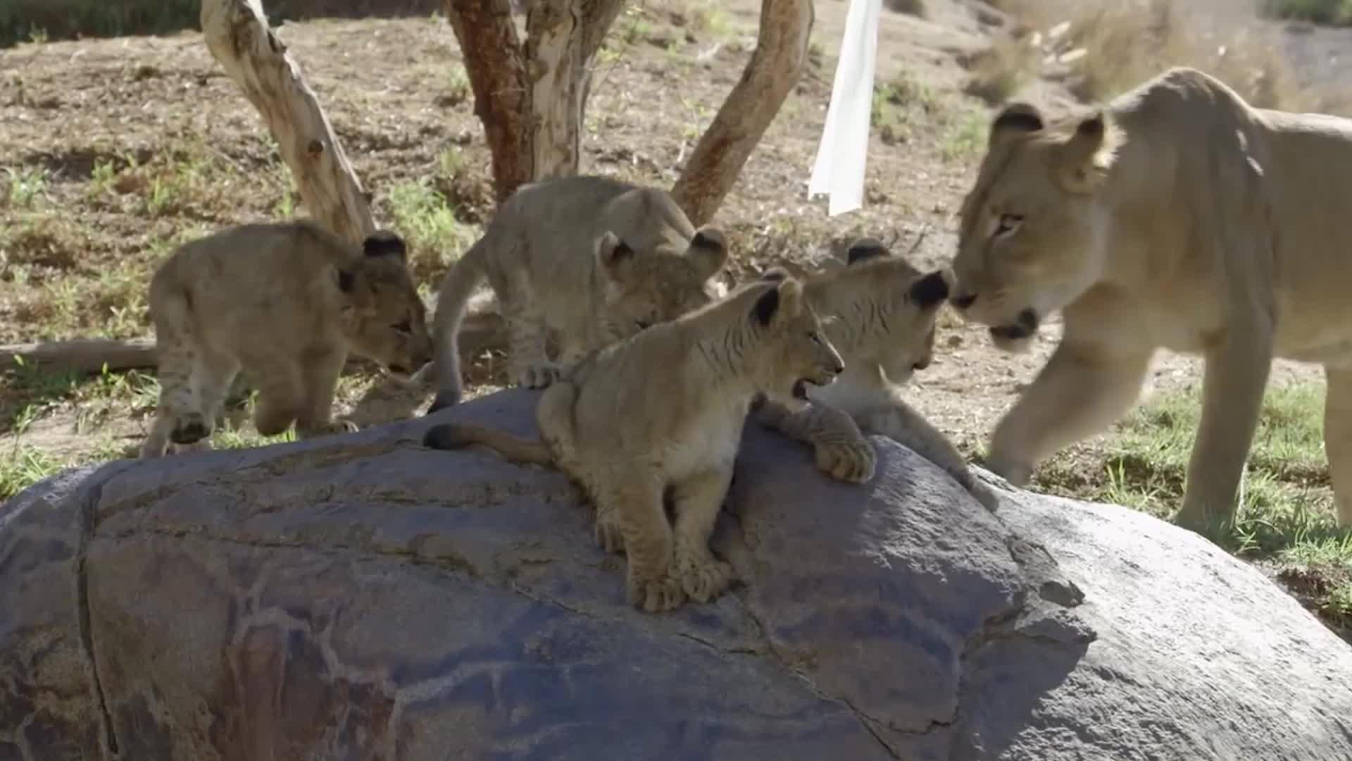 狮子不满被围观,直接转身放杀手锏,游客无一幸免
